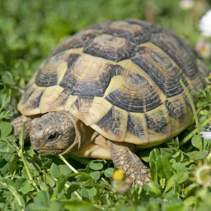 File photograph of a tortoise (not Wally or Torty) in the grass with some daisies